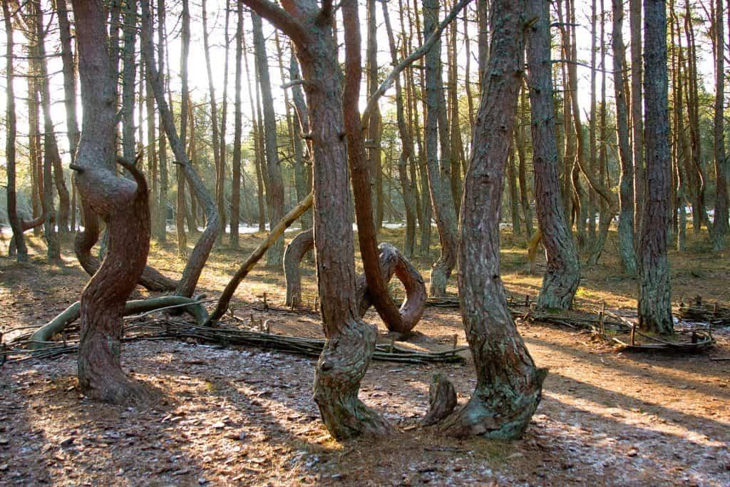 Экскурсии на Куршскую косу. Танцуюущий лес