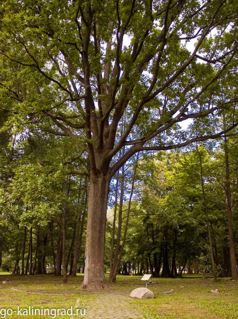 Достопримечательности Зеленоградска - Императорский дуб